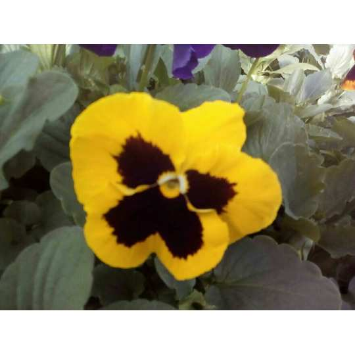 Фиалка Pansy F1 (Viola x wittrockiana) Yellow Blotch Kitano 100 шт