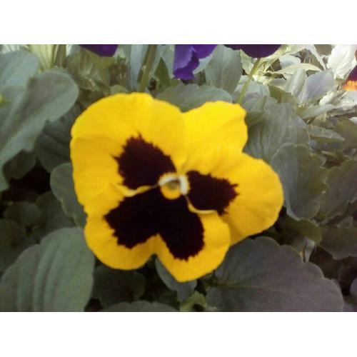 Фиалка Pansy F1 (Viola x wittrockiana) Yellow Blotch Kitano