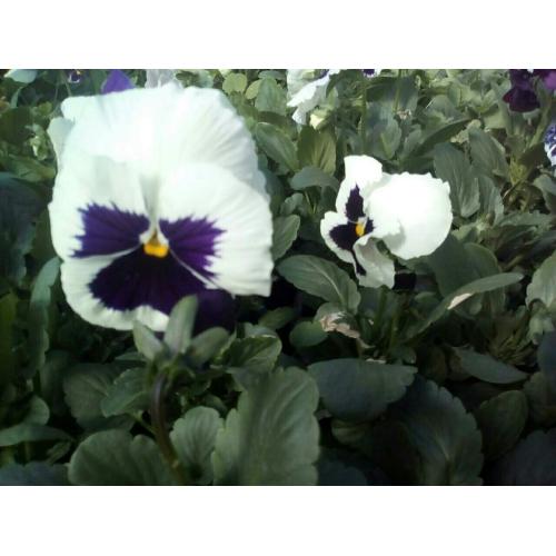 Фиалка Pansy F1 (Viola x wittrockiana) White Blotch Kitano