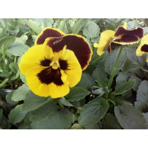 Фиалка Pansy F1 (Viola x wittrockiana) Red Wing Kitano