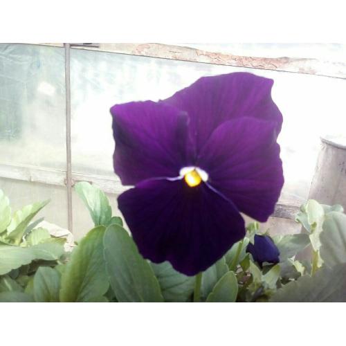 Фиалка Pansy F1 (Viola x wittrockiana) Purple Kitano