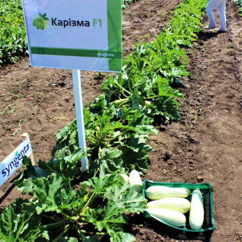семена кабачка КАРИЗМА F1 2500 сем.