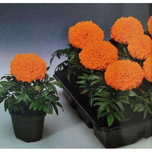 Чернобривцы Antigua F1 Orange Syngenta 1000 шт