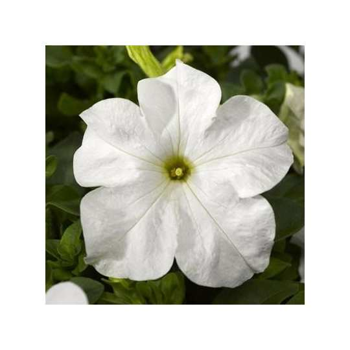 Петуния grandiflora Musica F1 White Volmary 1000 шт