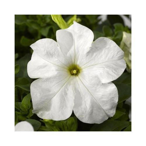 Петуния grandiflora Musica F1 White Volmary