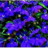Лобелия Riviera Midnight Blue Pan American 1000 шт