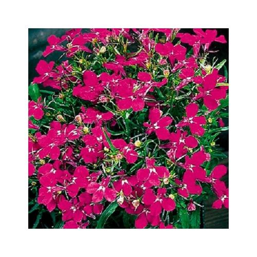 Лобелия Riviera Rose Pan American 1000 шт