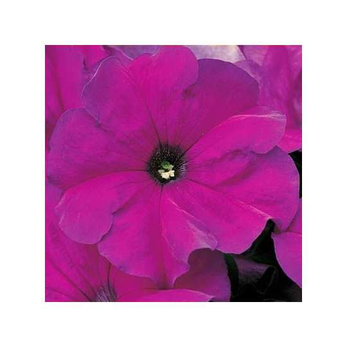 Петуния grandiflora Musica F1 Violet Volmary 500 шт