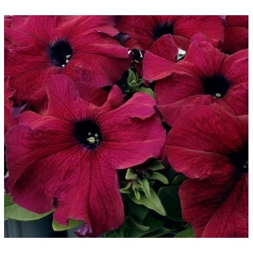 Петуния Grandiflora Pan American SuperCascade F1 Burguny