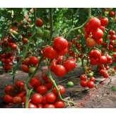 Семена томата Хитомакс F1 Kitano