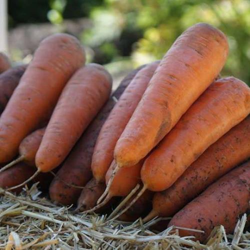 Морковь САТУРНО F1 | SATYRNO F1 Clause