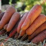 Морковь САТУРНО F1 Clause | SATYRNO F1 Clause