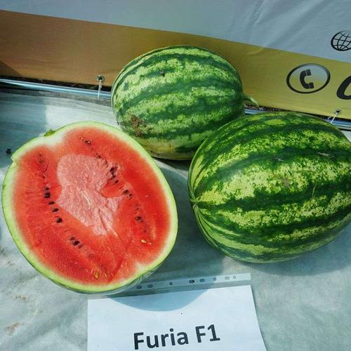 Кавун ФУРІЯ F1 | FURIA F1 Cora Seeds