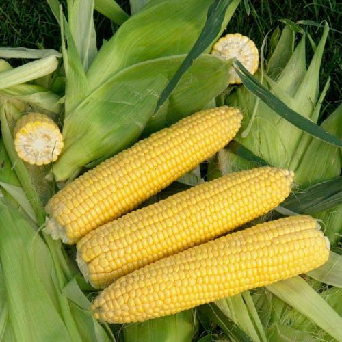 Кукуруза СИГНЕТ F1|SIGNET Seminis