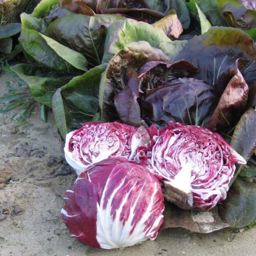 Цикорій салатний головчастий ИНДИГО | INDIGO Bejo