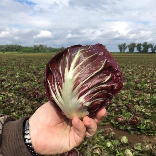 Цыкорий салатный головчастый ИНДИГО | INDIGO Bejo