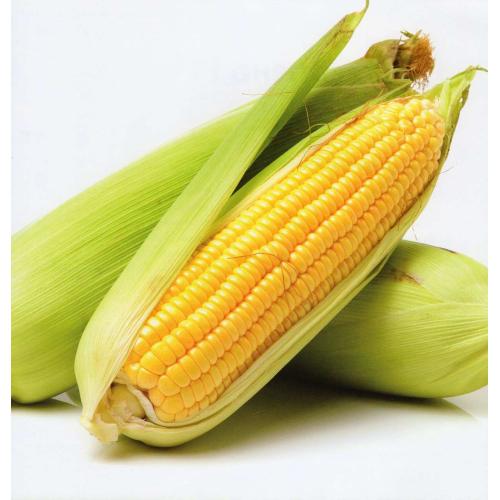 Кукуруза сахарная СВИТСТАР F1 | SWEETSTAR Syngenta