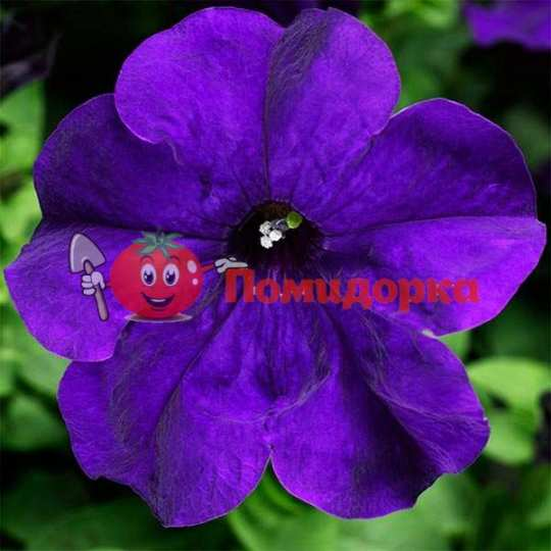 Петуния grandiflora F1 Tritunia Blue Syngenta
