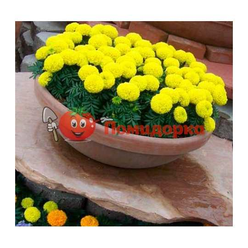 БАРХАТЦЫ АМЕРИКАНСКИЕ Marigold (Tagetes erecta)GOLD