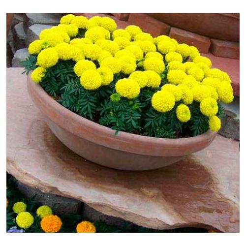 БАРХАТЦІ АМЕРИКАНСКІ Marigold (Tagetes erecta)GOLD