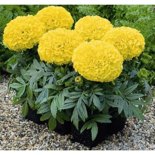 БАРХАТЦІ АМЕРИКАНСКІ Marigold (Tagetes erecta)YELLOW