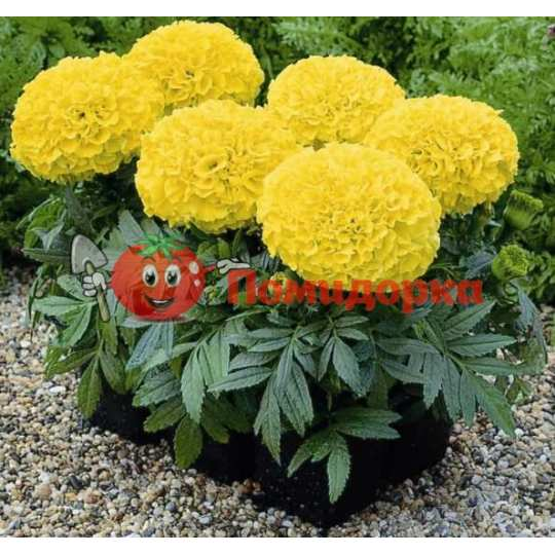 БАРХАТЦЫ АМЕРИКАНСКИЕ Marigold (Tagetes erecta)YELLOW