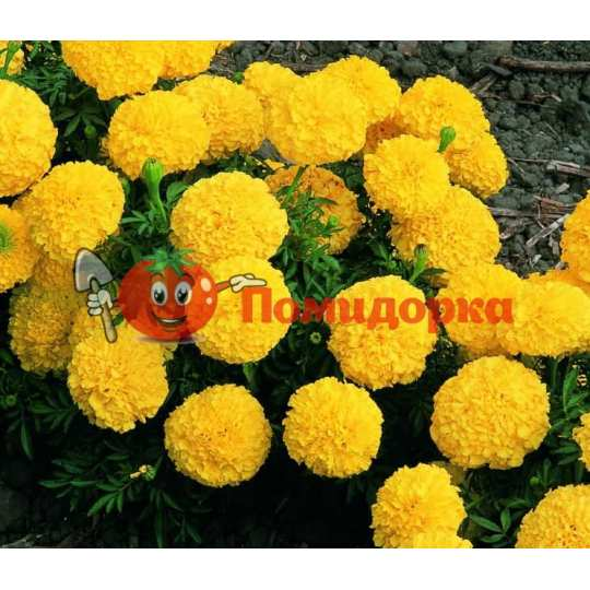 БАРХАТЦЫ АМЕРИКАНСКИЕ Marigold (Tagetes erecta)ORANGE
