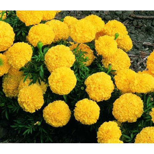 БАРХАТЦЫ АМЕРИКАНСКИЕ Marigold (Tagetes erecta)ORANGE