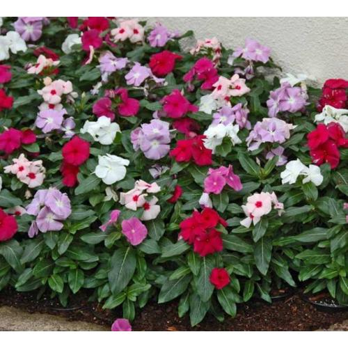 БАРВІНОК Vinca F1 (Catharanthus roseus) Formula Mixed
