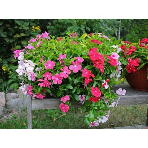 БАРВИНОК Vinca F1 (Catharanthus roseus)