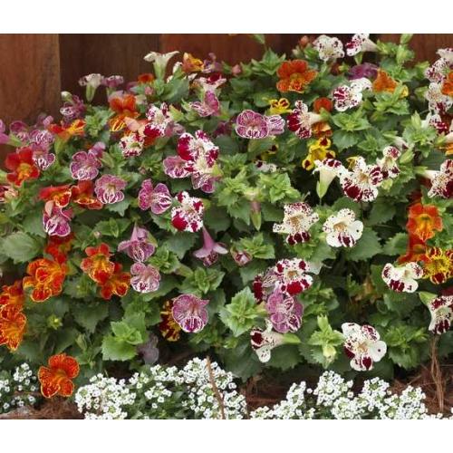 ГУБАСТИК КРУПНОЦВЕТКОВЫЙ Mimulus F1 (Mimulus grandiflora)