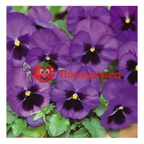 ФИАЛКА Pansy F1 (Viola x wittrockiana)