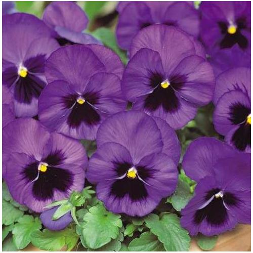 ФІАЛКА Pansy F1 (Viola x wittrockiana)