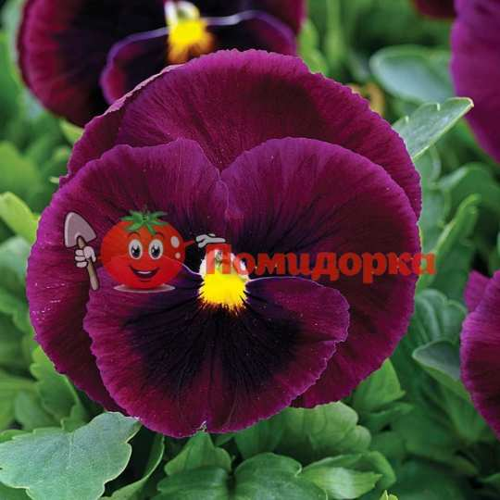 Фиалка Pansy F1 (Viola x wittrockiana) Rose Blotch Kitano 100 шт