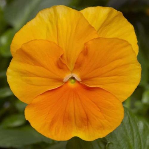 Фиалка Pansy F1 (Viola x wittrockiana) Orange Blotch Kitano