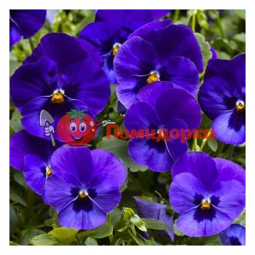 Фиалка Pansy F1 (Viola x wittrockiana) Blue Blotch Kitano