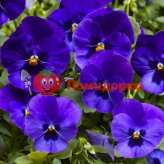 Фиалка Pansy F1 (Viola x wittrockiana) Blue Blotch Kitano 100 шт