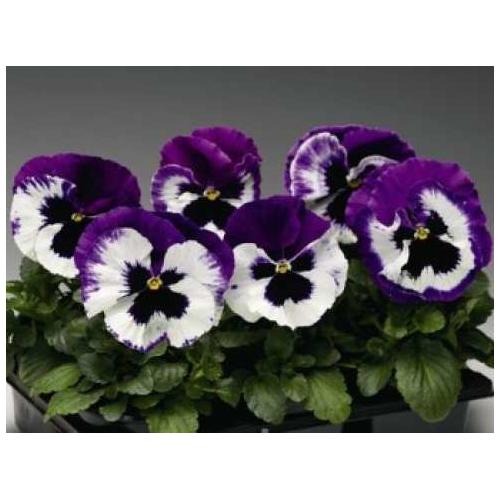 Фиалка Pansy F1 (Viola x wittrockiana) Purple Bicolour Kitano
