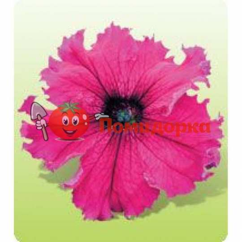 Петуния grandiflora F1 КОБАЯШИ Ruby Kitano