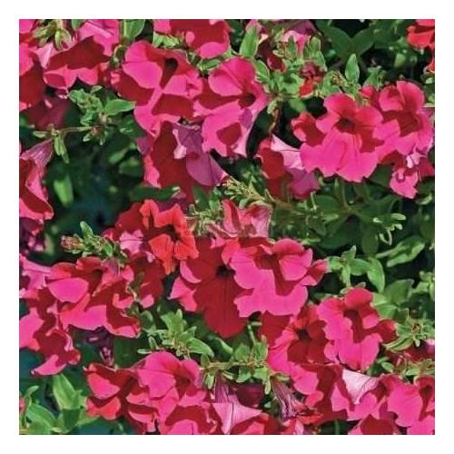 Петунія grandiflora F1 КОБАЯШІ Rose Kitano