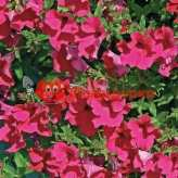 Петуния grandiflora F1 КОБАЯШИ Rose Kitano
