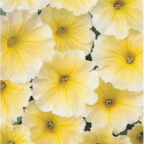 Петуния multiflora МИРАЖ F1 желтая професійне насіння