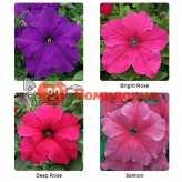 Петуния grandiflora F1 ВИРТУОЗ Deep Rose Kitano