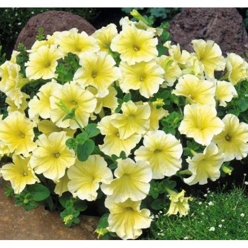 Петуния grandiflora F1 ВИРТУОЗ Sunshine Kitano