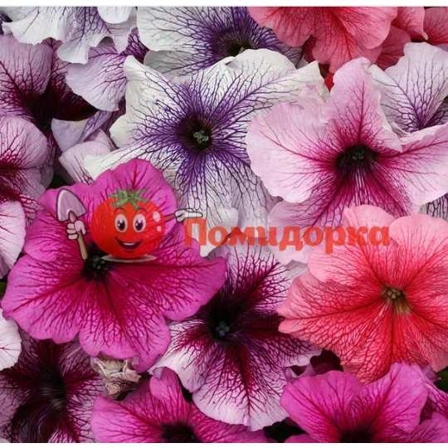 Петуния grandiflora F1 ВИРТУОЗ Berry Mixed Kitano