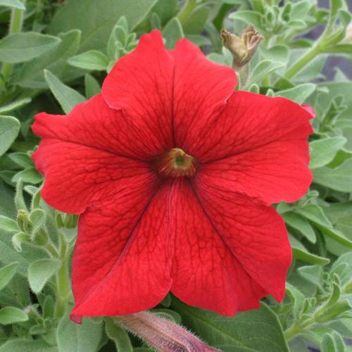 Петуния grandiflora F1 ВИРТУОЗ Red Kitano