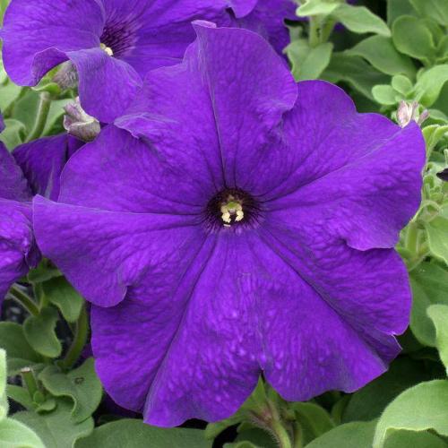 Петуния grandiflora F1 ВИРТУОЗ Blue Kitano