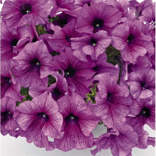 Петуния grandiflora Musica F1 Purple Vein Volmary