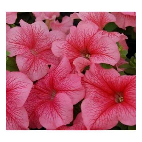 Петуния grandiflora Musica F1 Red Vein Volmary
