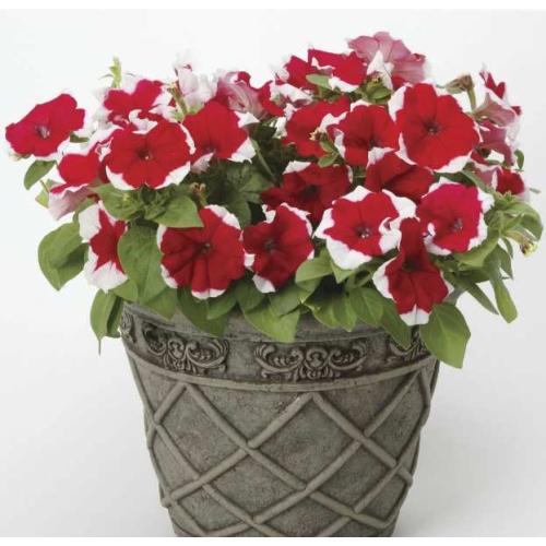 Петуния grandiflora Musica F1 Rose Frost Volmary